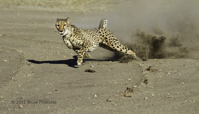 Cheetah In Full Flight Kicks Up Dust