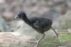 Purple Swamp Hen Chick by iansand