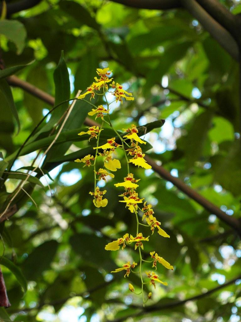 Oncidium flexuosum flowers