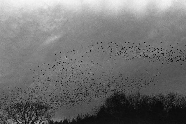 Roosting Blackbirds, Jan. 2014