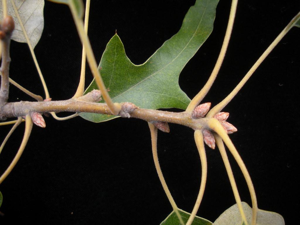Quercus falcata
