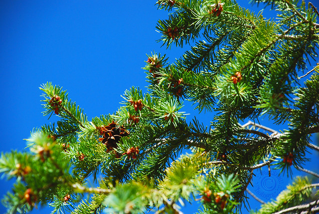 Pine Needles And Blue Sky