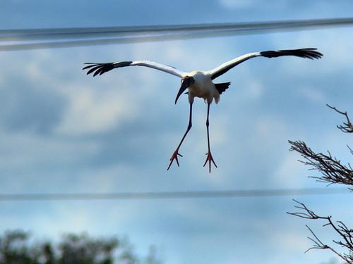 Wood Stork in flight 02-20170220