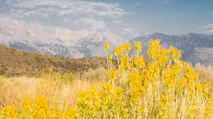 Mono Lake-flowers,grass