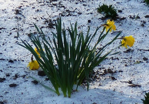 Daffodils in the Snow | by GammaBlog