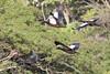 Muscovy Duck 121118 IMG_6940 by Langham Birder