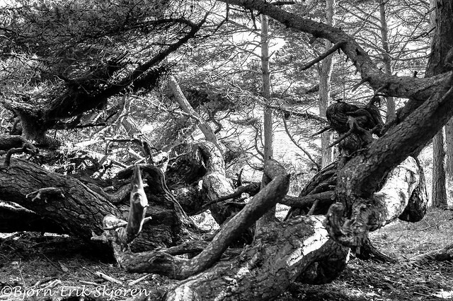 The troll pine
