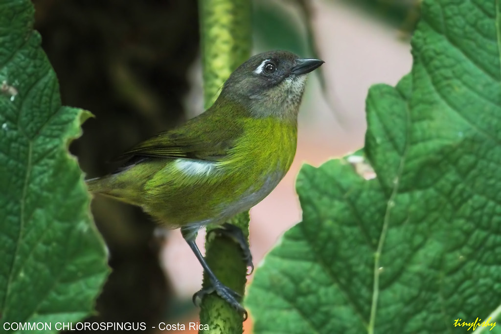 (544b) Common Chlorospingus - [ Monte Verde, Costa Rica ]