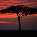 Image: Crimson Mara