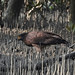 A giant eagle in mangrove, photographed from a long distance : Glimpses of my trip to Sunderbans, a UNESCO World Heritage Site for halophytic mangrove forest. by biswarupsarkar72