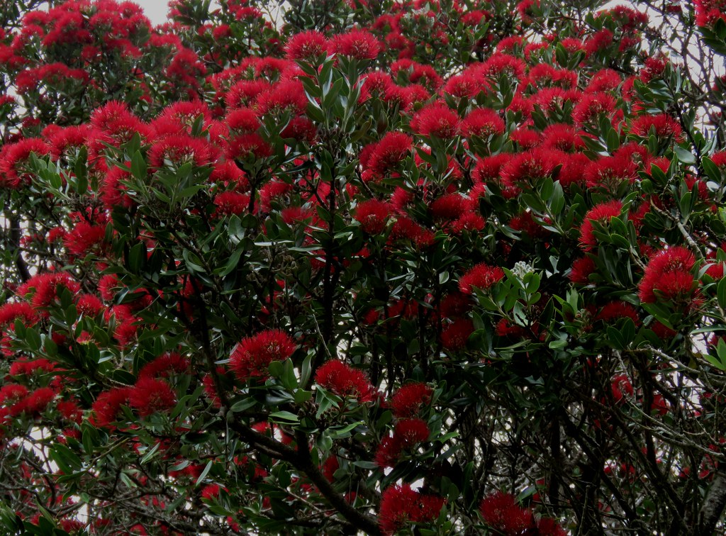 Pohutukawa A New Zealand Christmas Tree Up And Down The Flickr