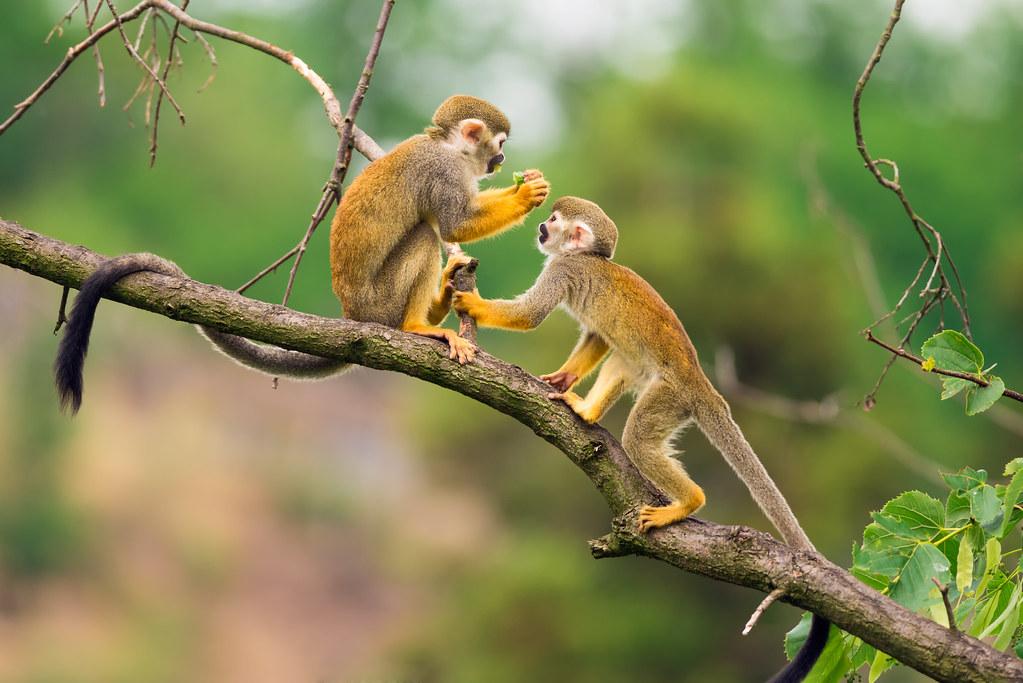 Capucins dans l'Amazonie brésilienne