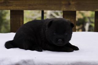 Haru-Litter4-Day20-Puppy3-Male-d | by brada1878