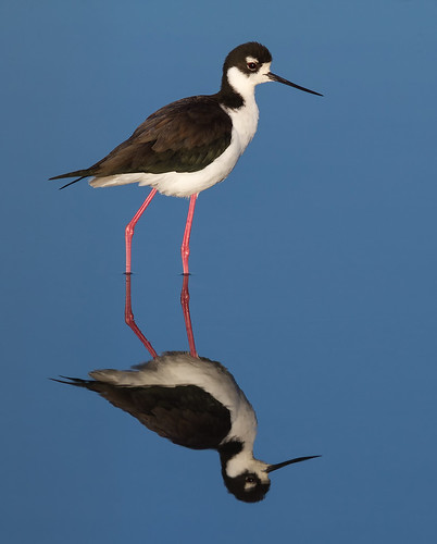Black-necked Stilt (Himantopus mexicanus) | by wikiphotographer