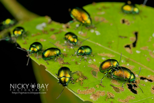 Leaf Beetles (Chrysomelidae) - DSC_7709 | by nickybay