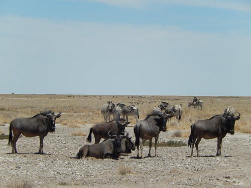 Etosha NP - wildebeesten en zebras van dichtbij