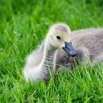 Young Canadian Goose