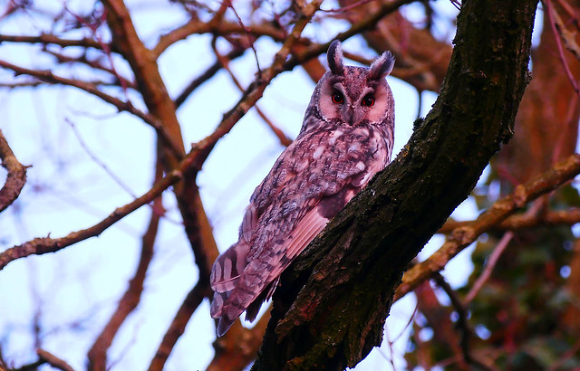 Long-eared Owl
