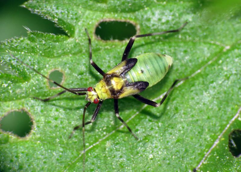 Calocoris alpestris (nymph)