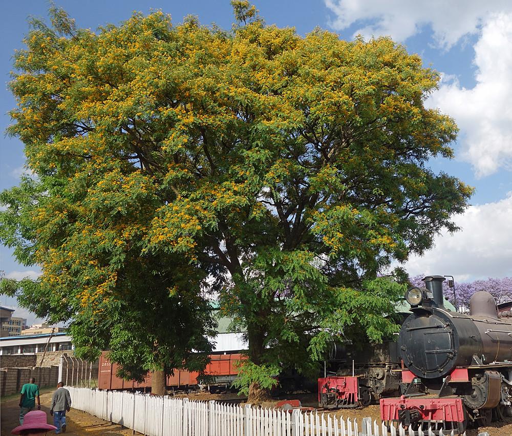 Orange Jacaranda Tree An Orange Jacaranda Tree At The Nair Flickr