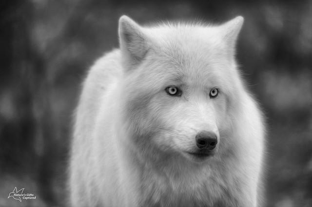 Arctic Wolf Close Up - B&W  (Lakota)