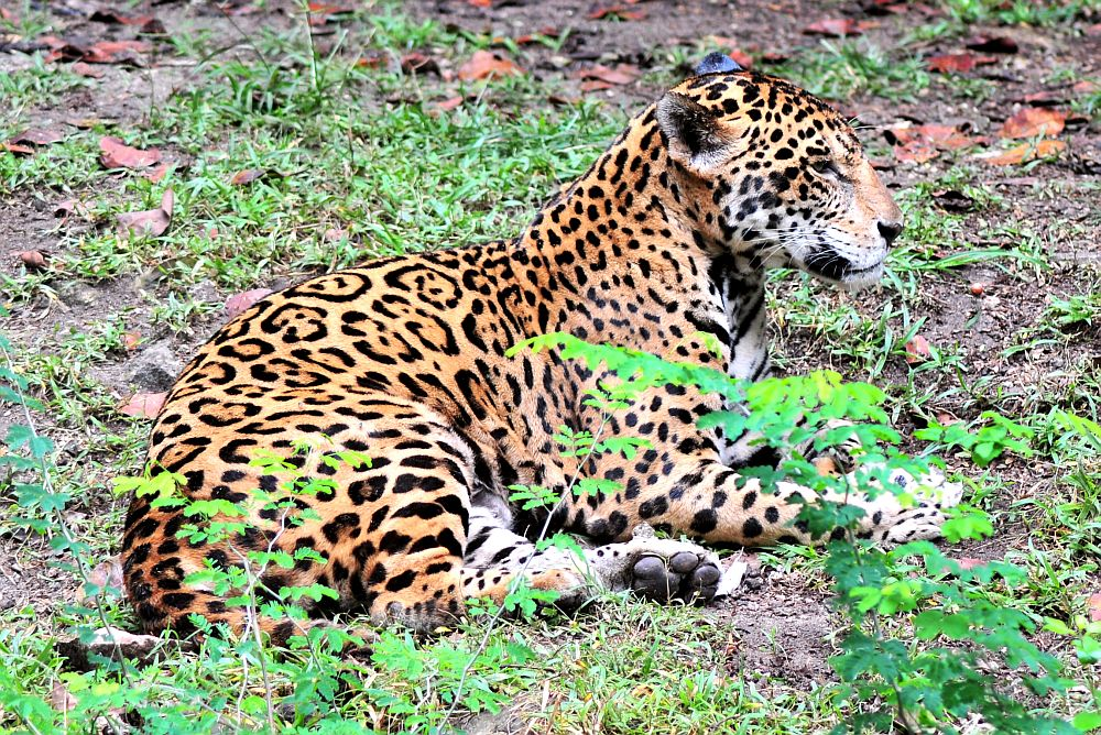 Proposed Tourist Train Could Threaten Mexico's Fragile Jaguar Populations