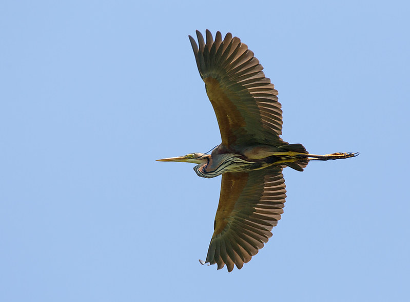 Purple Heron - not quite full plumage