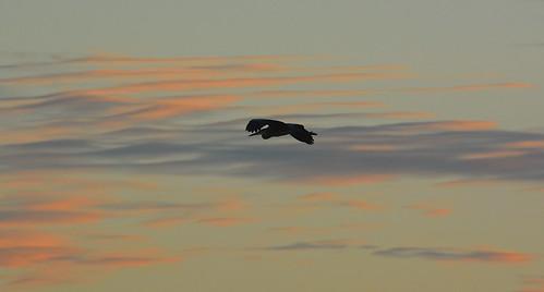 bird heron silhouette nikon airwaves featheredfriend summersunset floatingonair nikond7100