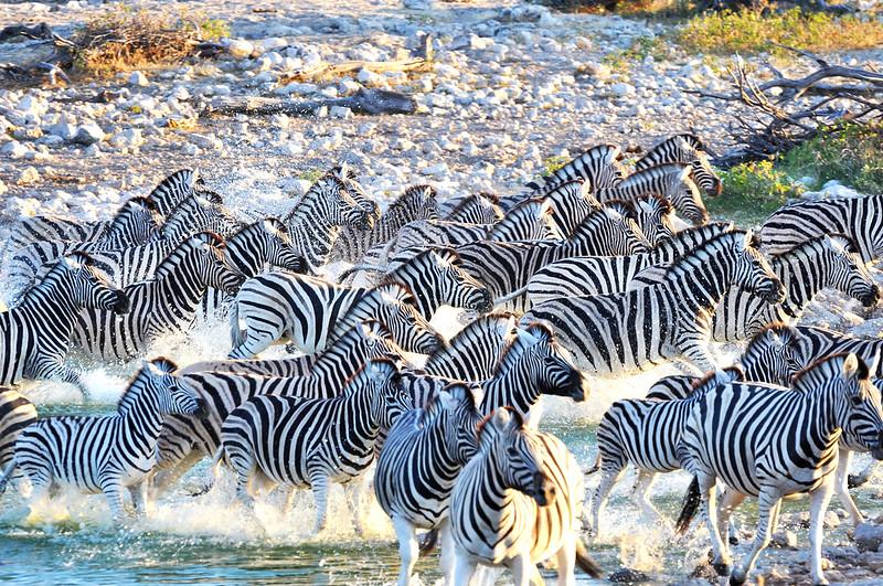 Zebras, Zebras, Zebras