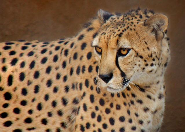 Bakka the South African Cheetah