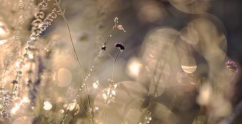 morning sunrise gold purple bokeh meadow verbena