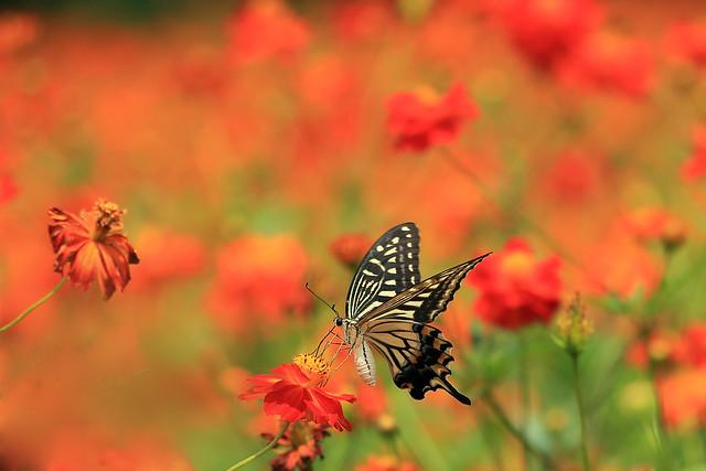 a swalowtail ナミアゲハ