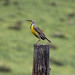 Western Meadowlark at Joder Ranch.