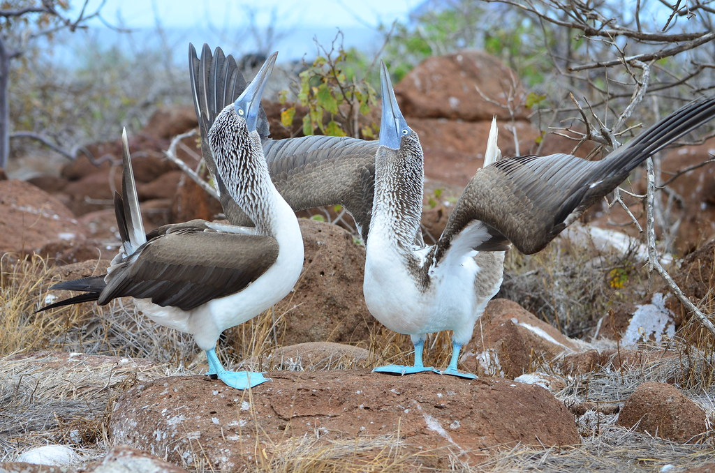 Blue-footed Booby mating dance, Galápagos
