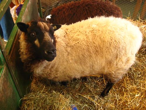 Icelandic sheep | by amndw2