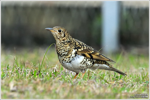 Scaly Thrush | by oLDcaR