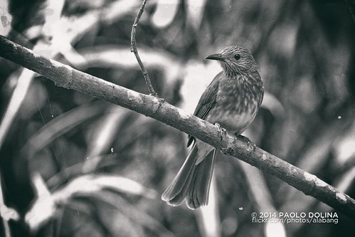 Philippine Bulbul (Hypsipetes philippinus) | by Paolo Dolina
