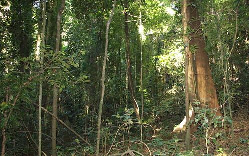rosewood bowraville meliaceae subtropicalrainforest arfp dysoxylum nswrfp qrfp dysoxylumfraserianum rosemahogany lowlandarf uplandarf subtropicalarf leaguescrub