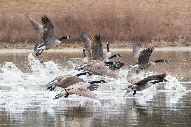 Canada Geese 2-11-2017-31