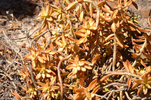 Sedum adolphii (= Sedum nussbaumerianum) 33105811726_ca72f4207e_z