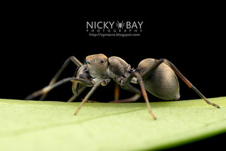Ant-Mimic Jumping Spider (Toxeus maxillosus) - DSC_6002