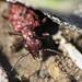 Elaphrus lapponicus, red morph