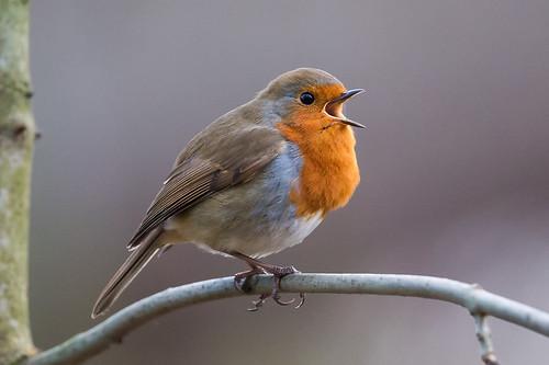 park orange brown bird robin grey twig stanleypark