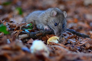 ratty again | by duck daddy
