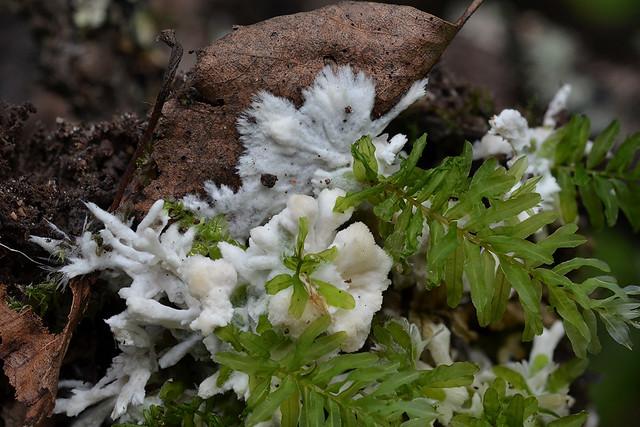Tremellodendron schweinitzii (Sebacina pallida)