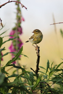 Young Willow Warbler   by Paul Marfell