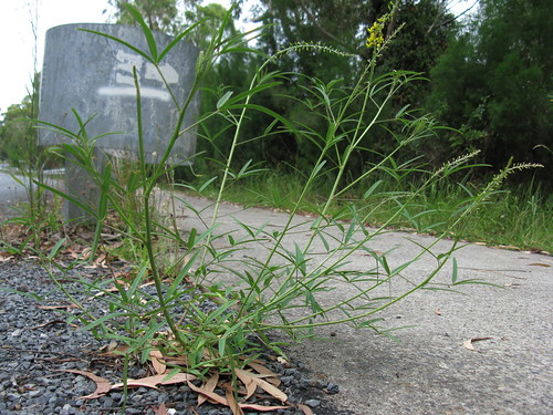 Crotalaria lanceolata habit NC11