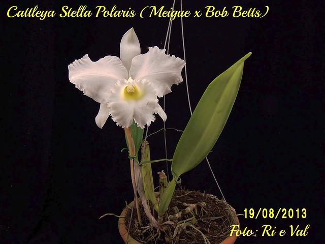 Cattleya Stella Polaris = ( Meige x Bob Betts)