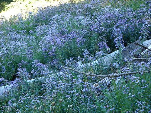 Aster field on Yocum Ridge