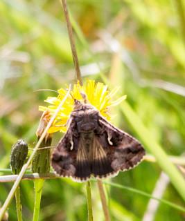 Silver Y Moth, Baildon Moor | by Paul Marfell